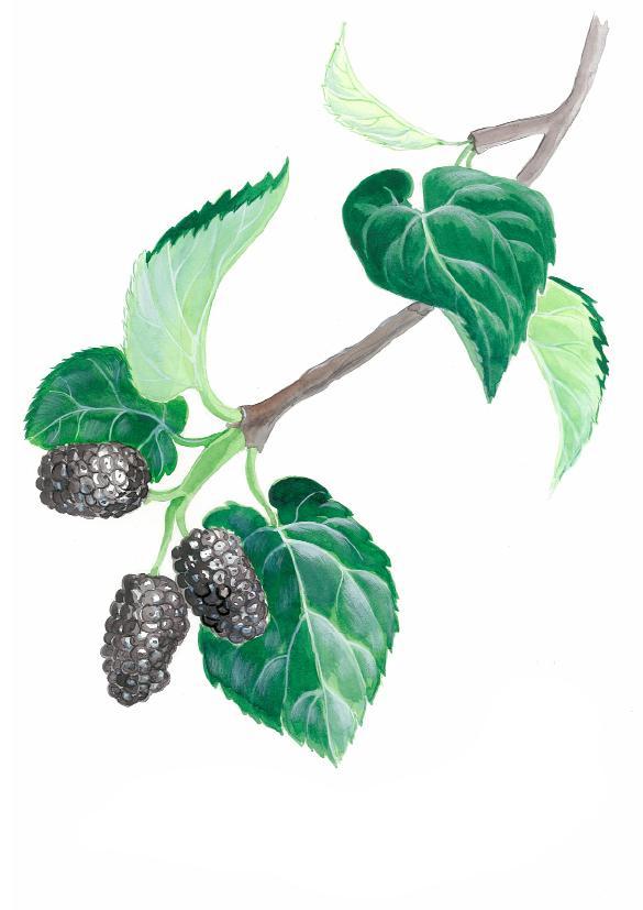 Maulbeerbaum(c)kheymach