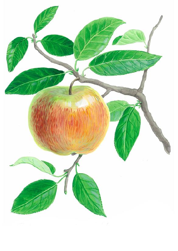 Roter Gravensteiner Apfel(c)kheymach